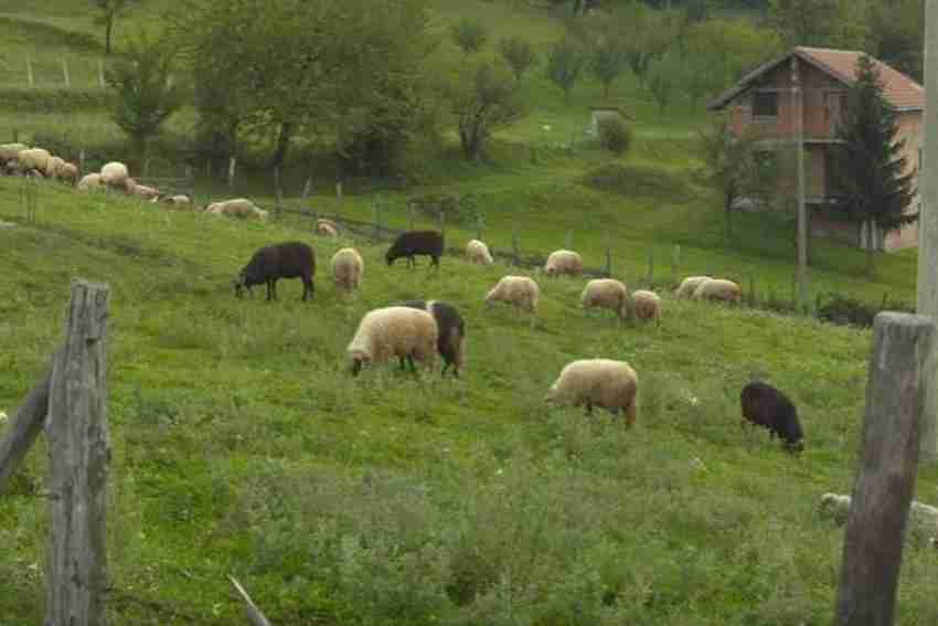 sve manje stada na pašnjacima u bugojanskoj općini
