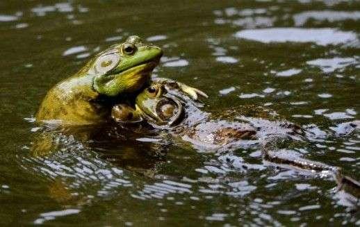 Klimatske promjene uzrokuju masovna izumiranja žaba