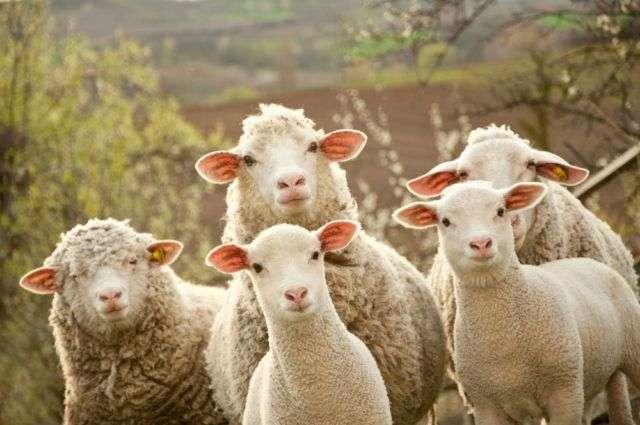 Francusku školu od sada pohađaju i ovce!