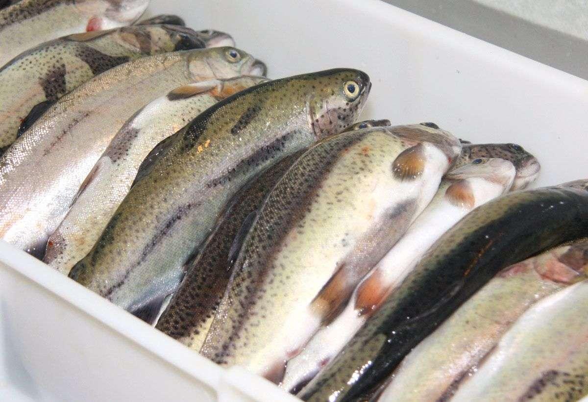 proizvodnja ribe u bih manja za oko 3%