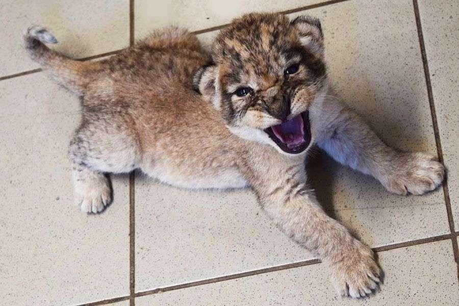 prinova u zoo vrtu bingo u tuzli/ lavica nina se okotila i na svijet donijela tri mladunčeta foto