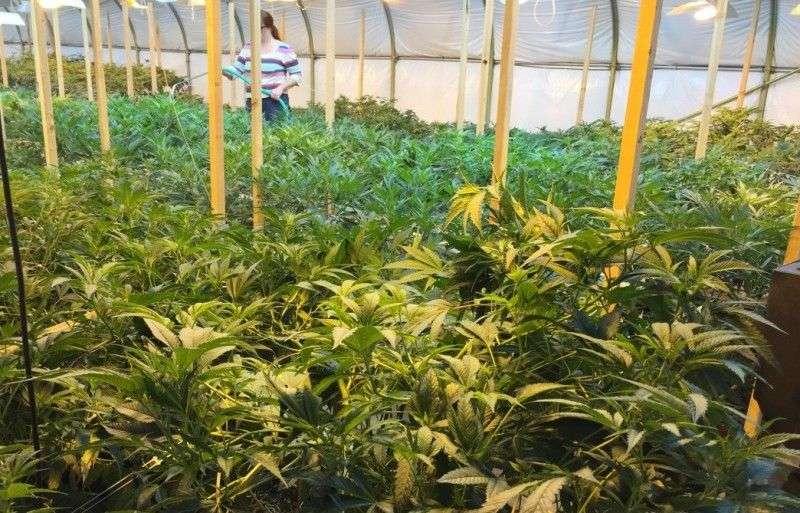 u hrvatskoj uskoro moguć legalni uzgoj marihuane