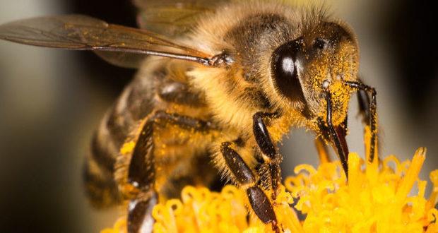 STUDIJA POKAZALA/ Pčelinji otrov uništava stanice raka dojke