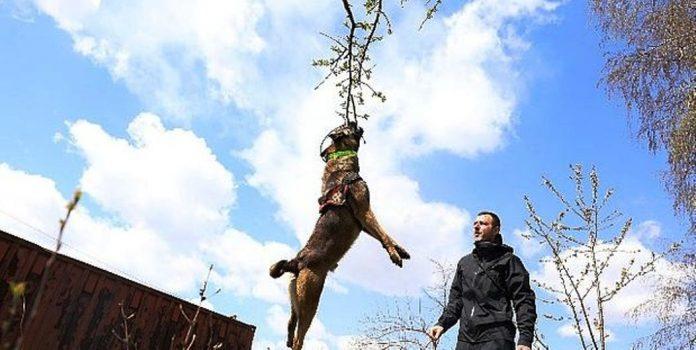 """""""Atos"""" specijalni pas tragač za još bolje rezultate Samostalne službe za zaštitu i spašavanje Grada Zenica"""